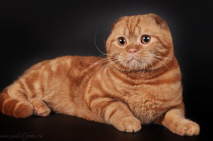 Шотландские котята фолды и страйты.
