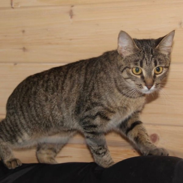 красивая кошка рысь в дар