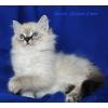 Cибирские элитные котята
