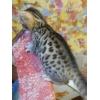 Бенгальские чистокровные котята