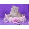 Британские котята из Питомника ILIOS CATS
