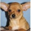 Девочка чихуахуа шикарный щенок.