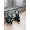 Карликовый шимпанзе.