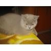 Клубные  котята питомника`sweettoy`