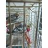 Попугаи розелла ,корелла и волнистые