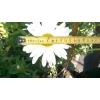 ромашка садовая Нивяник