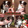 Чихуахуа-шоколад,щенки модных маленьких собачек