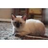 Сиамские классические котята