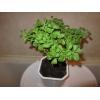 Стевия - медовая трава - растение для дома и дачи