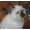 Тайские котята Мальчик.