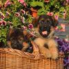 Супер щенки с идеальным характером. Чепрачные и черные. Щенки выращены с большой